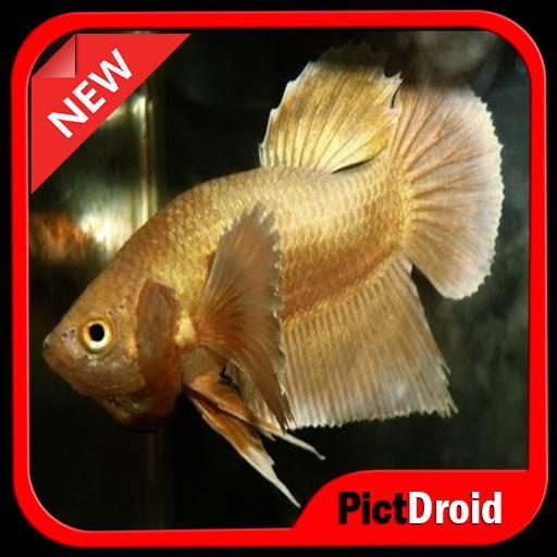 Download 760+ Download Gambar Ikan Cupang Aduan Terbaru