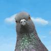 Pigeon Attack 圖標