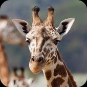 Giraffe Wallpaper icon