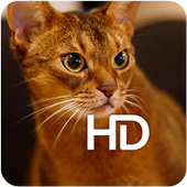 Abyssinian Cat HD Wallpaper icon