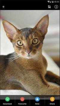 Abyssinian Cat HD Wallpaper poster