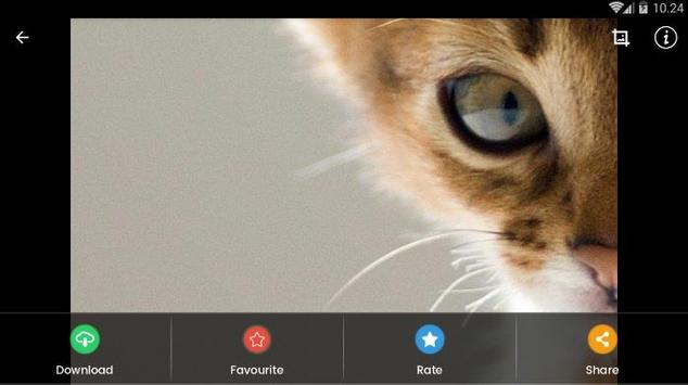 Abyssinian Cat HD Wallpaper screenshot 14