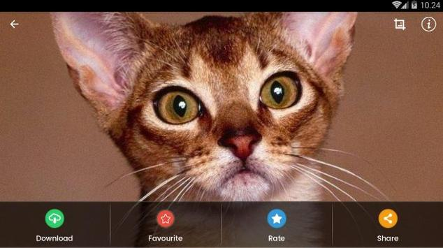Abyssinian Cat HD Wallpaper screenshot 15