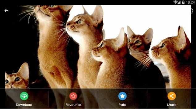 Abyssinian Cat HD Wallpaper screenshot 10
