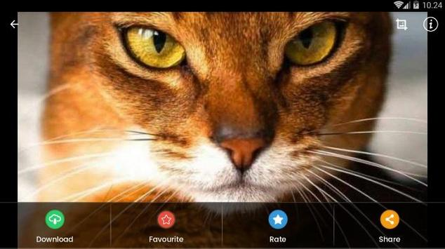 Abyssinian Cat HD Wallpaper screenshot 11