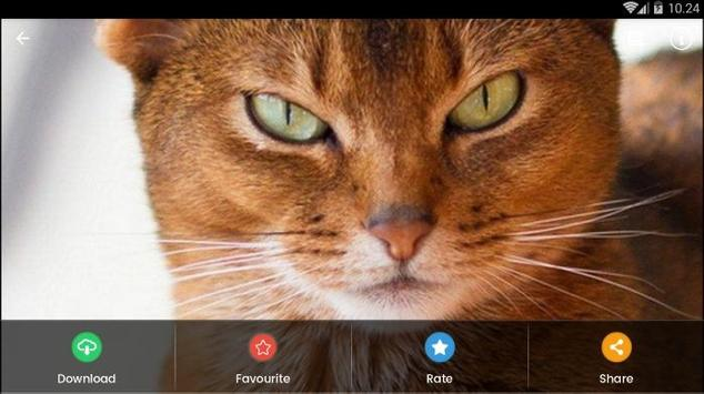 Abyssinian Cat HD Wallpaper screenshot 12