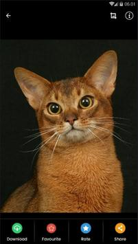 Abyssinian Cat HD Wallpaper screenshot 1