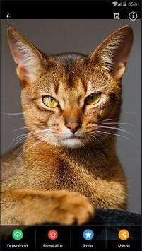 Abyssinian Cat HD Wallpaper screenshot 4