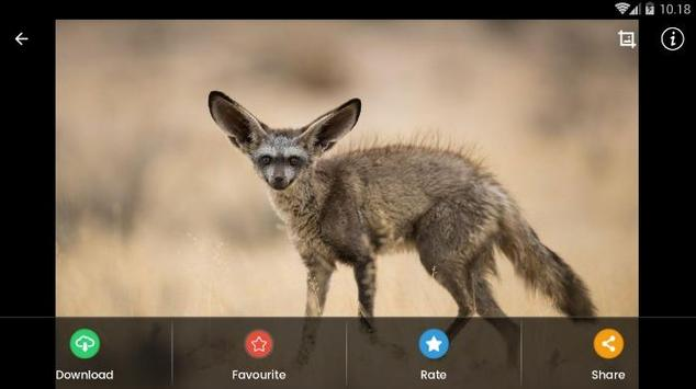 Bat Eared Fox Hd Wallpaper For Android Apk Download