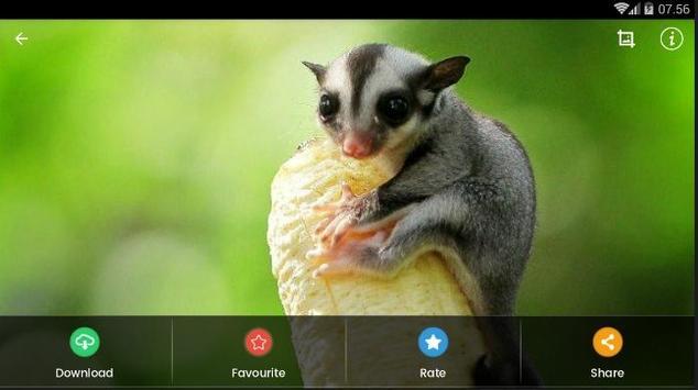 Sugar Glider HD Wallpaper screenshot 8