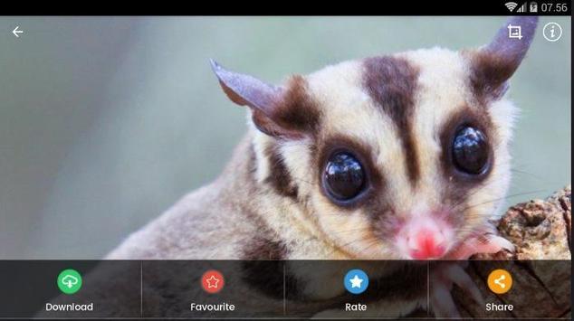 Sugar Glider HD Wallpaper screenshot 10