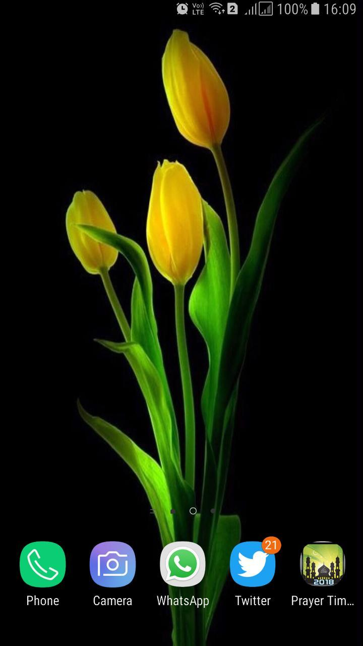 Hd Tulip New Wallpaper For Android Apk Download