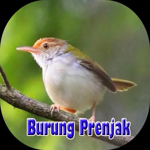Suara Burung Prenjak Lengkap For Android Apk Download