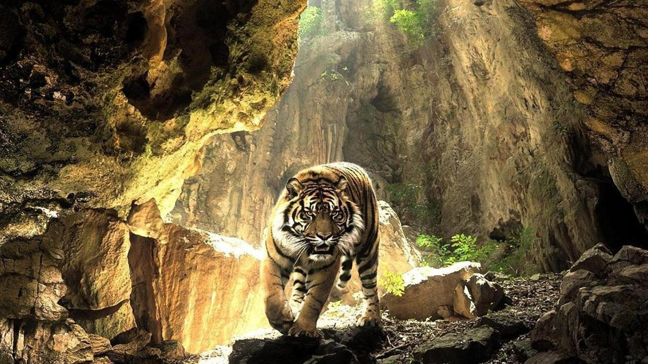 Tigers Live Wallpaper For Android Apk Download