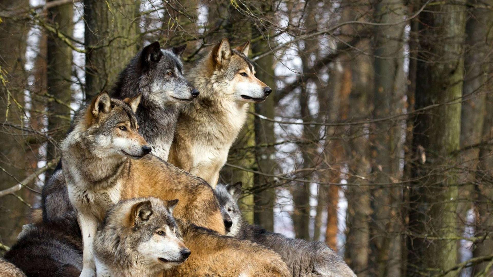 Картинки про волков для обоев