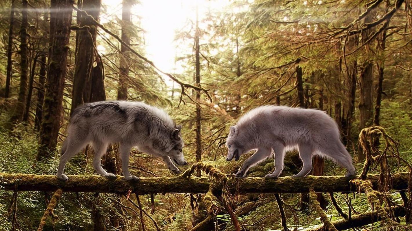 Nevada Wolf Pack Wallpaper: 狼队动态壁纸安卓下载,安卓版APK