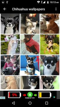 Chihuahua Dog Wallpapers Hd screenshot 4