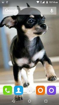 Chihuahua Dog Wallpapers Hd screenshot 15
