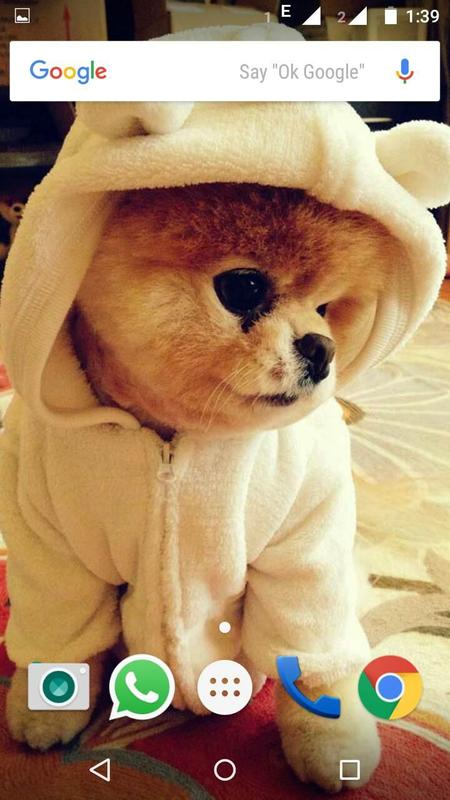 Pomeranian Dog Wallpapers Hd For Android Apk Download