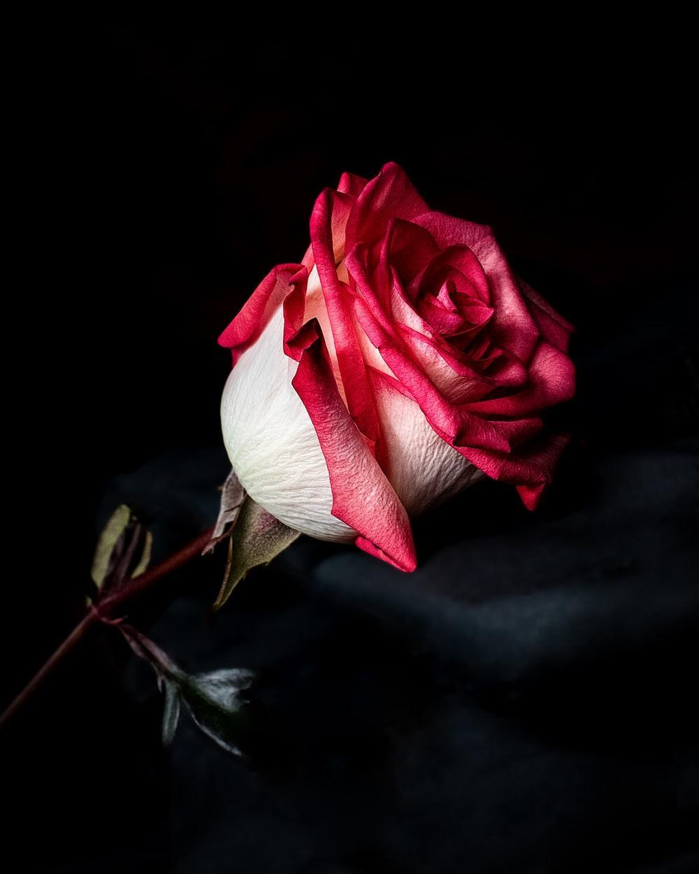 Good Morning Messages And Flower Rose Pictures Gif For Android Apk Download