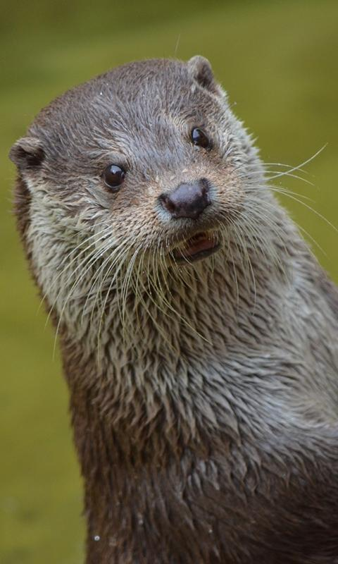 Otter Wallpaper For Android Apk Download