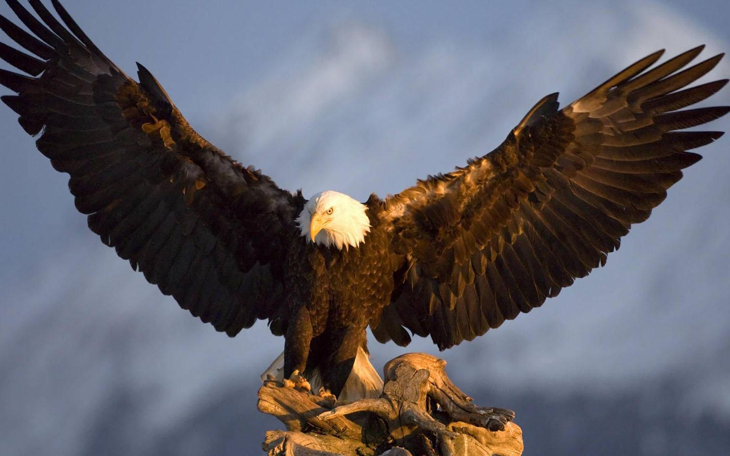 Bald Eagle Wallpaper for Android - APK ...