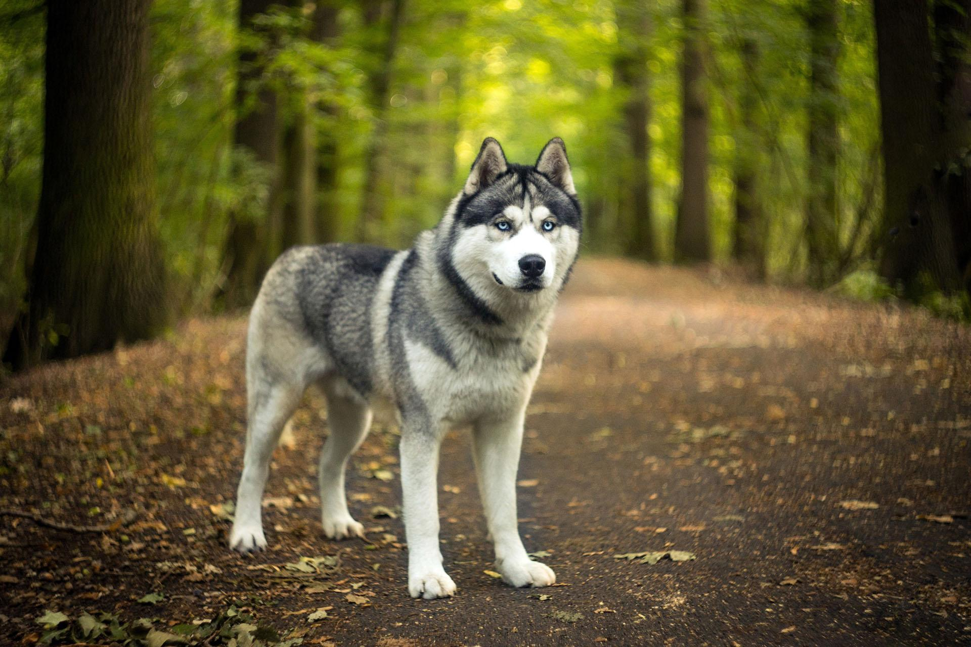 Husky Dog Wallpaper Hd Backgrounds Themes For Android Apk Download