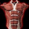 筋肉系3D(解剖学) アイコン