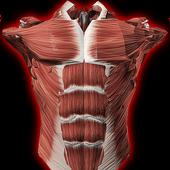 Icona Sistema Muscolare in 3D (Anatomia).