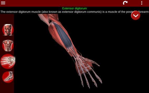 Muscular System 3D (anatomy) Ekran Görüntüsü 10