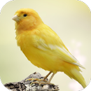 Canary Bird Sounds APK