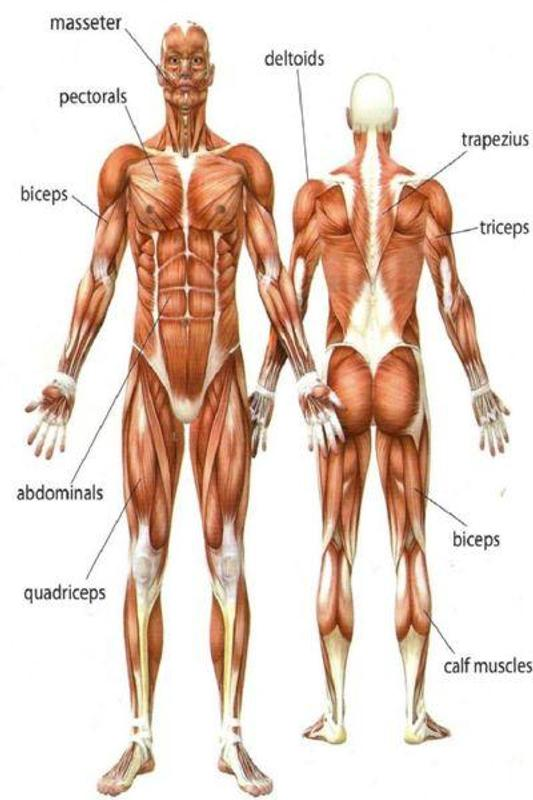 Bodybuilding Anatomy For Android Apk Download