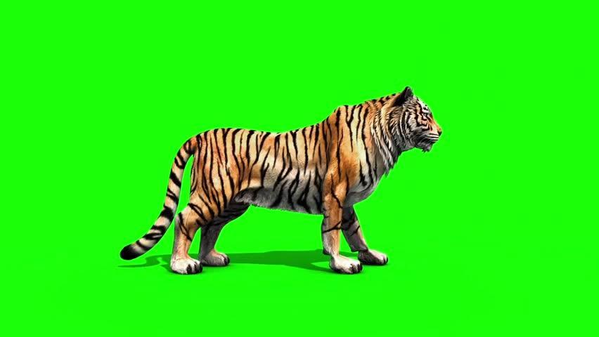 Real Tiger On Green Screen Green Screen Animals Free Youtube 10
