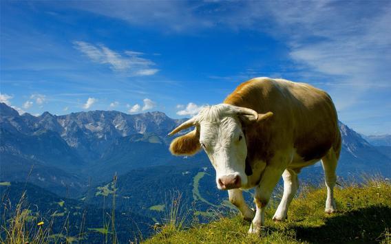 Cow Wallpaper screenshot 11
