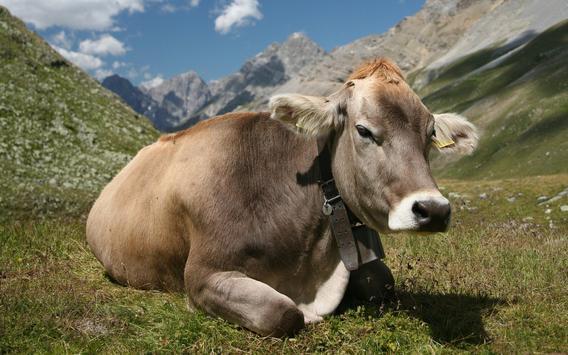 Cow Wallpaper screenshot 14