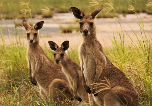 Kangaroo Wallpaper screenshot 5