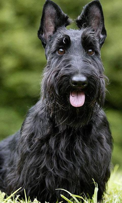 Scottish Terriers Wallpapers For