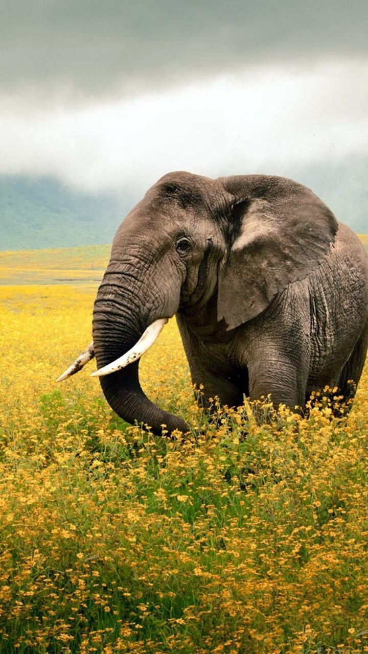 Hd Elephant Wallpaper New For Android Apk Download