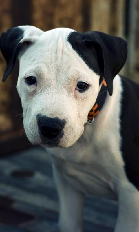 Pitbull Dogs Jigsaw Puzzles New Game for Android - APK Download
