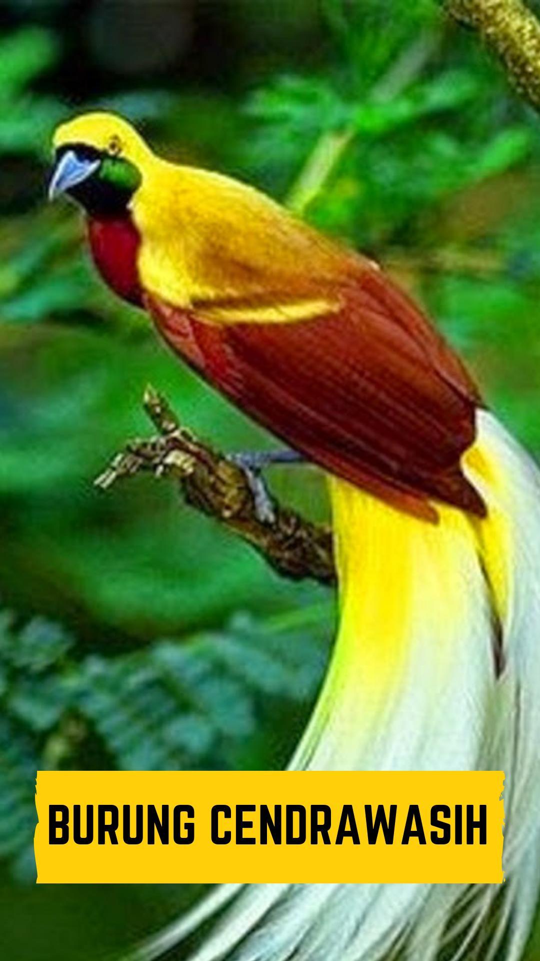 7800 Koleksi Gambar Burung Cendrawasih Google Gratis Terbaru