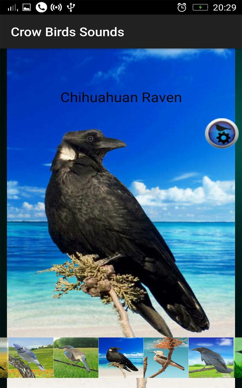 Crow Birds Sounds for Android - APK Download