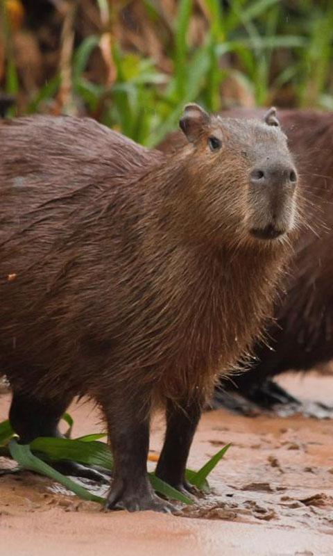 Capybara Wallpaper for Android - APK Download