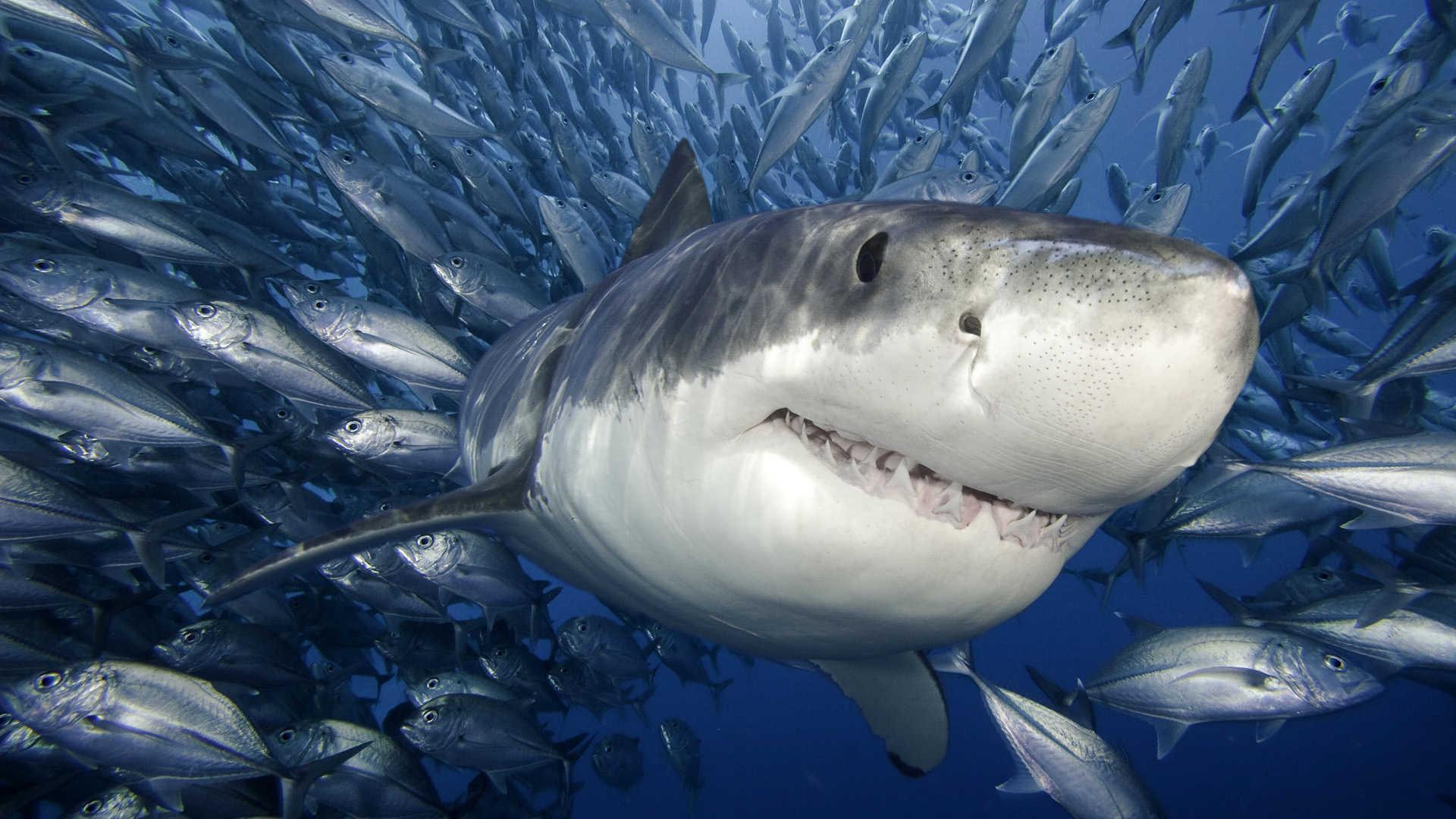 лучшие картинки акул отличии предыдущих сезонов