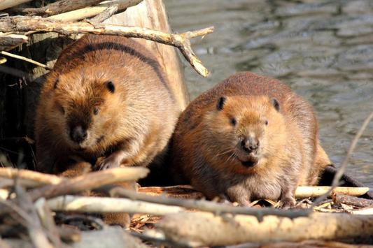 Baby Beavers Wallpapers Pictures HD screenshot 2