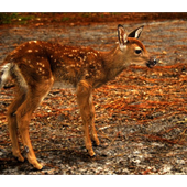 Baby Deer Wallpapers Pictures HD icon