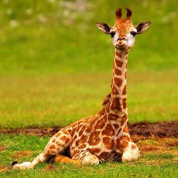 Baby Giraffes Wallpapers Pictures HD poster