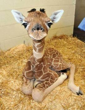 Baby Giraffes Wallpapers Pictures HD screenshot 1