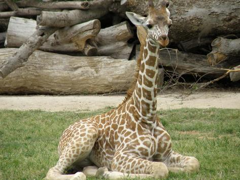 Baby Giraffes Wallpapers Pictures HD screenshot 2