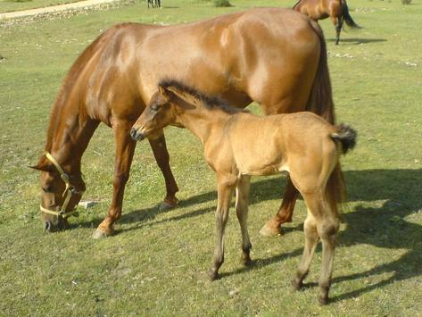 Baby Horses Wallpapers Pictures HD poster