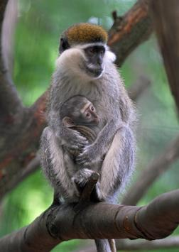Baby Monkeys Wallpapers Pictures HD screenshot 2